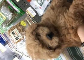 寻狗启示,寻找3月大的泰迪(深圳龙岗区坂田街道岗头路),它是一只非常可爱的宠物狗狗,希望它早日回家,不要变成流浪狗。