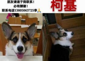 寻狗启示,福州寻找爱犬3周岁三色公柯基!,它是一只非常可爱的宠物狗狗,希望它早日回家,不要变成流浪狗。