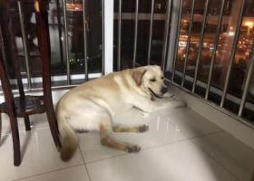 寻狗启示,天津开发区泰丰公园花园路酬谢一万元寻找拉布拉多,它是一只非常可爱的宠物狗狗,希望它早日回家,不要变成流浪狗。