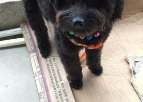 寻狗启示,寻狗启示黑色泰迪名字叫九九,它是一只非常可爱的宠物狗狗,希望它早日回家,不要变成流浪狗。