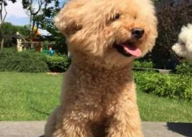 寻狗启示,寻狗启示 泰迪犬 女孩  14岁,它是一只非常可爱的宠物狗狗,希望它早日回家,不要变成流浪狗。