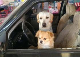 寻狗启示,二仙桥公园附近寻白色拉拉,它是一只非常可爱的宠物狗狗,希望它早日回家,不要变成流浪狗。