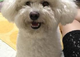 寻狗启示,上海浦东新区博兴路东陆路酬谢两千元寻找白色泰迪,它是一只非常可爱的宠物狗狗,希望它早日回家,不要变成流浪狗。