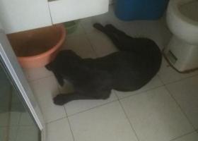 寻狗启示,东丽区顶秀欣园捡到一只黑色母拉布拉多,它是一只非常可爱的宠物狗狗,希望它早日回家,不要变成流浪狗。