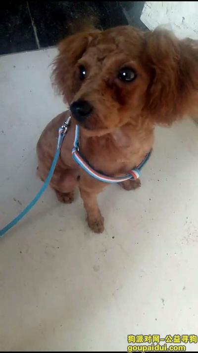 周口寻狗,红棕色泰迪在小区门口走失,它是一只非常可爱的宠物狗狗,希望它早日回家,不要变成流浪狗。