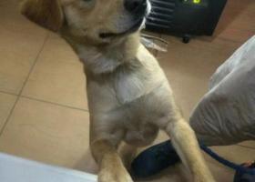 寻狗启示,无锡后宅区域丢失一只黄色拉布拉多串串,它是一只非常可爱的宠物狗狗,希望它早日回家,不要变成流浪狗。