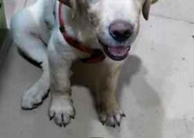 寻狗启示,请求大家帮帮忙,这有线索必有回报!,它是一只非常可爱的宠物狗狗,希望它早日回家,不要变成流浪狗。