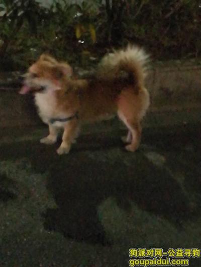 ,谁家丢的狗狗?快去找它!,它是一只非常可爱的宠物狗狗,希望它早日回家,不要变成流浪狗。