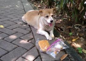 寻狗启示,寻找狗主人 串串 母狗  小型狗,它是一只非常可爱的宠物狗狗,希望它早日回家,不要变成流浪狗。