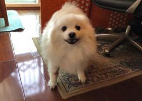 寻狗启示,寻找走失爱犬银狐小白狗,它是一只非常可爱的宠物狗狗,希望它早日回家,不要变成流浪狗。