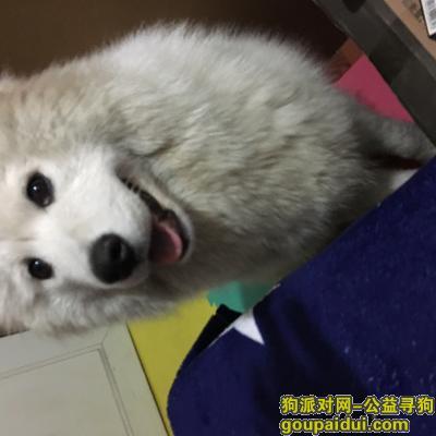 九江找狗,白色萨摩耶走失,主人着急找回,它是一只非常可爱的宠物狗狗,希望它早日回家,不要变成流浪狗。