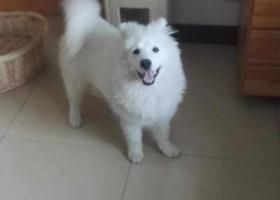 寻狗启示,北京市通州区潞城镇丢失纯白萨摩耶(母),它是一只非常可爱的宠物狗狗,希望它早日回家,不要变成流浪狗。