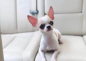 寻狗启示,寻只走失的带着狗牌的吉娃娃,它是一只非常可爱的宠物狗狗,希望它早日回家,不要变成流浪狗。