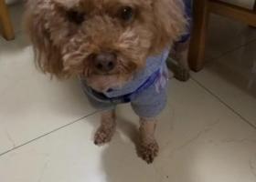 寻狗启示,寻找家人!5岁泰迪,必有重谢,它是一只非常可爱的宠物狗狗,希望它早日回家,不要变成流浪狗。