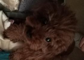 寻狗启示,大兴区万科天地或者恒大未来城丢失一条棕色母泰迪,它是一只非常可爱的宠物狗狗,希望它早日回家,不要变成流浪狗。