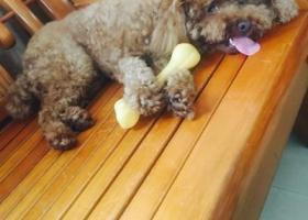 寻狗启示,漳华东路坂上村口泰迪公3岁丢失,它是一只非常可爱的宠物狗狗,希望它早日回家,不要变成流浪狗。