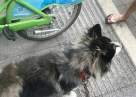 寻狗启示,因本人不慎于7月26日丢失哈士奇一只,它是一只非常可爱的宠物狗狗,希望它早日回家,不要变成流浪狗。