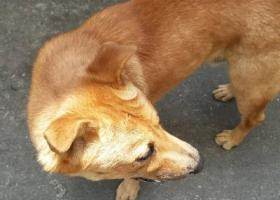 寻狗启示,佛山丢失寻大黄色土狗重酬,它是一只非常可爱的宠物狗狗,希望它早日回家,不要变成流浪狗。