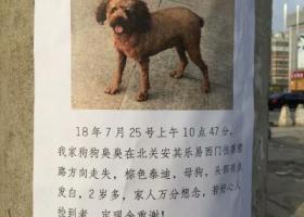 寻狗启示,臭臭快点回来吧!棕色泰迪,它是一只非常可爱的宠物狗狗,希望它早日回家,不要变成流浪狗。