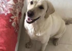 寻狗启示,山西运城新绛县重金寻拉布拉多,它是一只非常可爱的宠物狗狗,希望它早日回家,不要变成流浪狗。