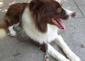 寻狗启示,狗狗与7月28在莱西济南路与温州路附近走丢,它是一只非常可爱的宠物狗狗,希望它早日回家,不要变成流浪狗。