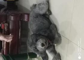 寻狗启示,寻找我家的灰泰迪,非常感谢,它是一只非常可爱的宠物狗狗,希望它早日回家,不要变成流浪狗。