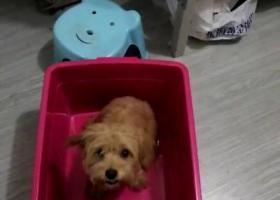 寻狗启示,南京栖霞区尧化门捡到小泰迪,它是一只非常可爱的宠物狗狗,希望它早日回家,不要变成流浪狗。