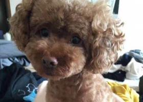 寻狗启示,演讲与口才杂志社【棕色泰迪狗】找寻启事,它是一只非常可爱的宠物狗狗,希望它早日回家,不要变成流浪狗。