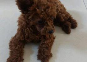 寻狗启示,寻找我家贝贝小飞耳母泰迪,它是一只非常可爱的宠物狗狗,希望它早日回家,不要变成流浪狗。