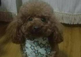 寻狗启示,--高密市凤凰公园附近丢失泰迪狗,它是一只非常可爱的宠物狗狗,希望它早日回家,不要变成流浪狗。