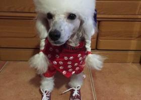 寻狗启示,乐亭县海港路附近丢失白色贵宾一只,它是一只非常可爱的宠物狗狗,希望它早日回家,不要变成流浪狗。