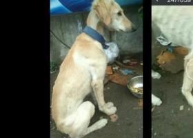 寻狗启示,寻找爱犬是只猎犬米黄色,它是一只非常可爱的宠物狗狗,希望它早日回家,不要变成流浪狗。