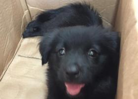 寻狗启示,寻狗启示黑色串串一只,它是一只非常可爱的宠物狗狗,希望它早日回家,不要变成流浪狗。