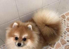 寻狗启示,深圳龙华区民乐花园酬谢一万元寻找黄色博美,它是一只非常可爱的宠物狗狗,希望它早日回家,不要变成流浪狗。