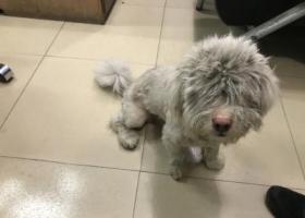 寻狗启示,深圳龙华富士康捡到狗,它是一只非常可爱的宠物狗狗,希望它早日回家,不要变成流浪狗。