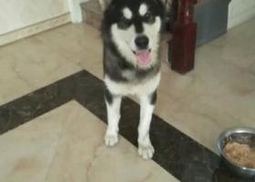 寻狗启示,陕西安康汉滨区与竹园巷发现走丢成年阿拉斯加,往尽快找到狗主人!,它是一只非常可爱的宠物狗狗,希望它早日回家,不要变成流浪狗。