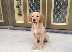 寻狗启示,南通寻狗,6个月大金毛犬,望好心人提供信息,它是一只非常可爱的宠物狗狗,希望它早日回家,不要变成流浪狗。