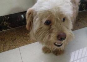 寻狗启示,本人8月3日在深圳龙岗深汕路捡到一条贵妃犬,它是一只非常可爱的宠物狗狗,希望它早日回家,不要变成流浪狗。