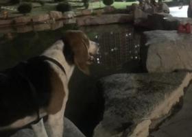 寻狗启示,在兖州怡和花园小区门口丢的,一只比格犬,叫虎虎,帮我找到我的狗狗你要我的肾都行,求求你们帮忙找找,重赏重赏,它是一只非常可爱的宠物狗狗,希望它早日回家,不要变成流浪狗。