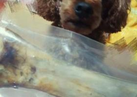 寻狗启示,重金悬赏,泰迪,公,棕色毛,走失时戴黄色项圈,它是一只非常可爱的宠物狗狗,希望它早日回家,不要变成流浪狗。