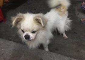 寻狗启示,寻狗主人,芳村中市附近流浪的京巴,它是一只非常可爱的宠物狗狗,希望它早日回家,不要变成流浪狗。