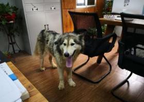寻狗启示,长沙市雨花区东山街道 阿拉斯加,它是一只非常可爱的宠物狗狗,希望它早日回家,不要变成流浪狗。