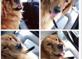寻狗启示,苏州市相城区澄湖镇车渡村重金寻找金毛,它是一只非常可爱的宠物狗狗,希望它早日回家,不要变成流浪狗。
