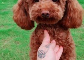 寻狗启示,五堰商城附近丢失泰迪狗狗,它是一只非常可爱的宠物狗狗,希望它早日回家,不要变成流浪狗。