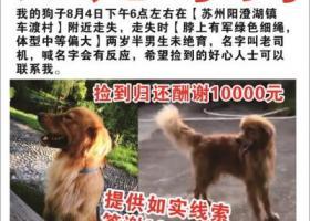 寻狗启示,苏州市相城区澄湖镇车渡村悬赏一万元寻找金毛,它是一只非常可爱的宠物狗狗,希望它早日回家,不要变成流浪狗。