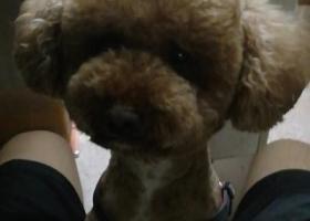 寻狗启示,八月三日宝业广场附近走失公泰迪串,它是一只非常可爱的宠物狗狗,希望它早日回家,不要变成流浪狗。