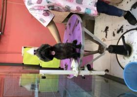 寻狗启示,2018年8月11号早上7点半,在红石路航天职大车站走丢,它是一只非常可爱的宠物狗狗,希望它早日回家,不要变成流浪狗。
