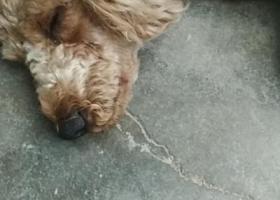 寻狗启示,捡到一只泰迪狗,棕色,它是一只非常可爱的宠物狗狗,希望它早日回家,不要变成流浪狗。