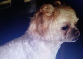 寻狗启示,厦门湖里寻找狗狗帅帅启示,它是一只非常可爱的宠物狗狗,希望它早日回家,不要变成流浪狗。