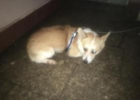 寻狗启示,8月12日晚上10点左右在上海市普陀区李子园花园捡到一只黄色背毛柯基,它是一只非常可爱的宠物狗狗,希望它早日回家,不要变成流浪狗。